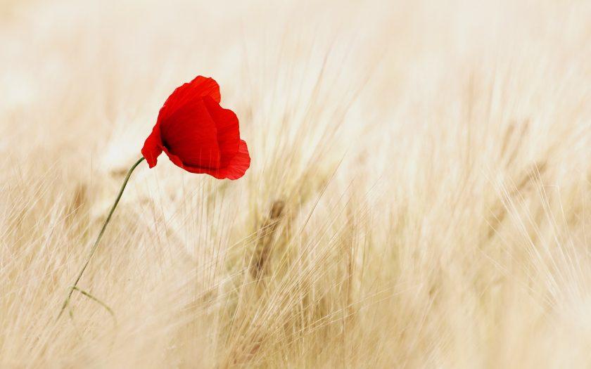 Weizenfeld mit Mohnblume - Foto von pixabay